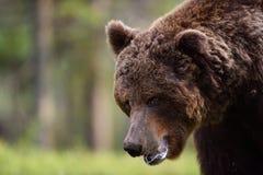 Agresywny męski brown niedźwiedź Obraz Stock