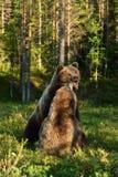 Agresywny niedźwiedź wściekły niedźwiedź Niedźwiadkowa walka Zdjęcie Royalty Free