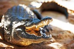 Agresywny Nil krokodyl Obrazy Royalty Free