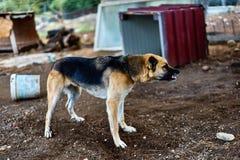 agresywny pies Obrazy Royalty Free