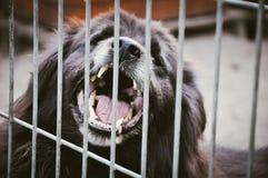 Agresywny pies pokazuje zęby w schronieniu Obrazy Stock