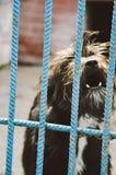 Agresywny pies pokazuje zęby w schronieniu Obraz Royalty Free