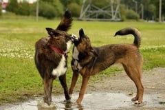 agresywny pies Trenować psy Szczeniak edukacja, kynologia, intensywny szkolenie młodzi psy Młody energiczny pies na spacerze Fotografia Stock