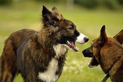 agresywny pies Trenować psy Szczeniak edukacja, kynologia, intensywny szkolenie młodzi psy Młody energiczny pies na spacerze Obrazy Royalty Free