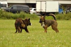 agresywny pies Trenować psy Szczeniak edukacja, kynologia, intensywny szkolenie młodzi psy Młody energiczny pies na spacerze Zdjęcie Royalty Free