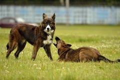 agresywny pies Trenować psy Szczeniak edukacja, kynologia, intensywny szkolenie młodzi psy Młody energiczny pies na spacerze Obraz Stock