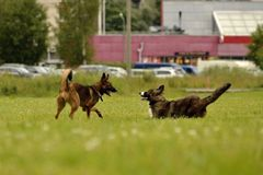 agresywny pies Trenować psy Szczeniak edukacja, kynologia, intensywny szkolenie młodzi psy Młody energiczny pies na spacerze Zdjęcia Stock