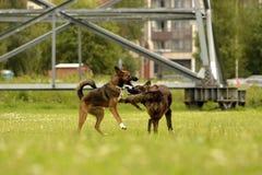 agresywny pies Trenować psy Szczeniak edukacja, kynologia, intensywny szkolenie młodzi psy Młody energiczny pies na spacerze Fotografia Royalty Free