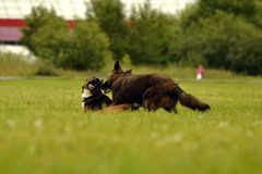 agresywny pies Trenować psy Szczeniak edukacja, kynologia, intensywny szkolenie młodzi psy Młody energiczny pies na spacerze Zdjęcia Royalty Free