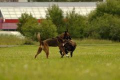 agresywny pies Trenować psy Szczeniak edukacja, kynologia, intensywny szkolenie młodzi psy Młody energiczny pies na spacerze Zdjęcie Stock