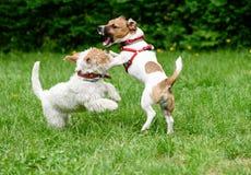 Agresywny pies zagraża innego psa z frightful fangs Obraz Stock
