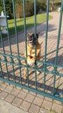 Agresywny przyglądający pies Obrazy Royalty Free