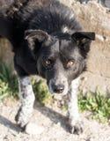 Agresywny psa spojrzenie przy naturą Fotografia Royalty Free
