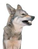 Agresywny Saarloos wolfdog w studiu Zdjęcie Royalty Free