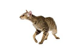Agresywny siamese kot. odizolowywający na bielu Fotografia Stock