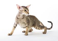 Agresywny siamese kot. odizolowywający na bielu Zdjęcie Stock
