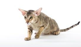 Agresywny siamese kot. odizolowywający na bielu Zdjęcia Stock