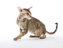 Agresywny siamese kot. odizolowywający na bielu Zdjęcie Royalty Free