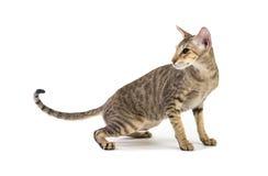 Agresywny siamese kot. odizolowywający na bielu Obrazy Royalty Free