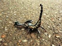 agresywny skorpion Obrazy Royalty Free