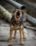 Agresywny szczekanie pies Obraz Royalty Free