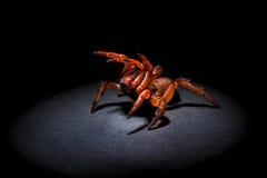 Agresywny trapdoor pająk Zdjęcia Stock