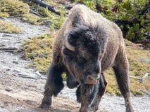 Agresywny żubr przy Yellowstone parkiem narodowym Zdjęcia Royalty Free