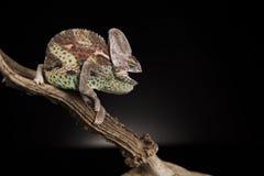 Agresywny Yemen kameleon Obrazy Stock