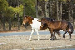 Agresywny zachowanie w dzikich koniach na Assateague wyspie, Marylan Zdjęcie Stock