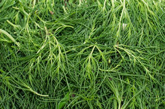 Agretti Stock Photo