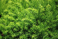 Agretti Herb Background Stock Images
