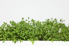 Agrião de jardim fresco Fotografia de Stock Royalty Free