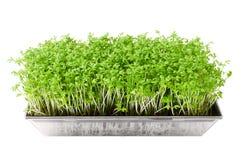Agrião de jardim no sprouter da semente sobre o branco Fotos de Stock