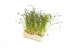 Agrião fresco do cebolinha da bio rocha Imagem de Stock Royalty Free