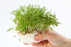 Agrião fresco na mão Imagem de Stock Royalty Free