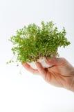 Agrião fresco na mão Imagens de Stock Royalty Free