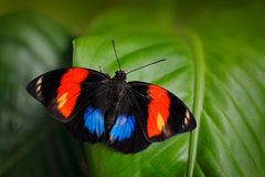 Agrias amydon, dark blue and red butterfly sitting on the green leaves in the ttropic jungle forest in Brazil in South America. Wildlife scene from nature royalty free stock photos