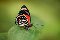 Agrias amydon, zmroku - błękitny i czerwony motyli obsiadanie na zieleni opuszcza w ttropic dżungla lesie w Brazylia w Ameryka Po zdjęcia stock