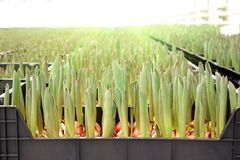 Agribusiness greenhouse seedling spring. Seedlings of tulips in a greenhouse stock images
