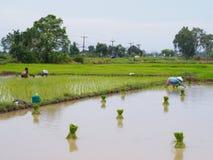 Agricole dans des domaines de riz photos stock
