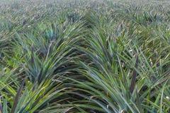 Agricolo del giacimento dell'ananas Immagine Stock Libera da Diritti