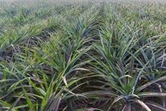 Agricolo del giacimento dell'ananas Fotografia Stock Libera da Diritti
