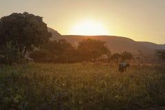 Agricoltore africano da piantare nel giardino ad alba Fotografie Stock