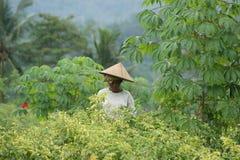 Agricoltore al giacimento del pepe - scena tipica della via di balinese Fotografia Stock