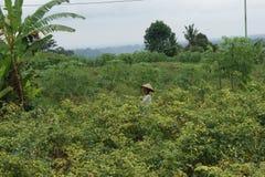 Agricoltore al giacimento del pepe - scena tipica della via di balinese Immagini Stock Libere da Diritti