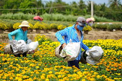 Agricoltore al mio fiore di Tho che pianta villaggio Fotografie Stock Libere da Diritti