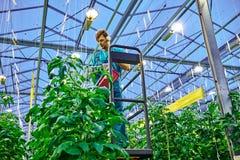 Agricoltore amichevole che lavora alla piattaforma idraulica dell'elevatore a forbice in serra Fotografie Stock Libere da Diritti