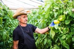 Agricoltore amichevole sul lavoro che controlla pomodoro in serra Fotografia Stock
