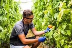 Agricoltore amichevole sul lavoro con il pomodoro più hatvest in serra Fotografia Stock