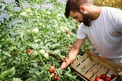 Agricoltore amichevole sul lavoro in serra Fotografia Stock Libera da Diritti